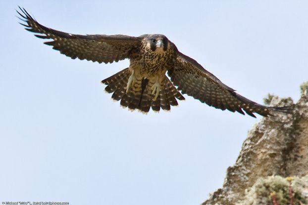 Peregrine_falcon_fledgling-4371.jpg